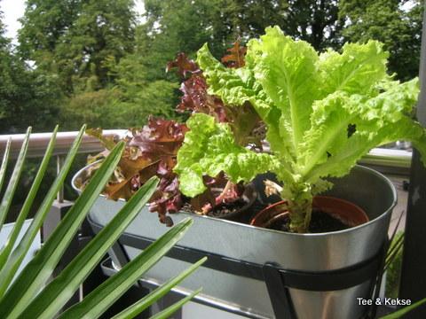 Salat ziehen Balkon